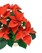 Stock Photo of poinsetta isolated