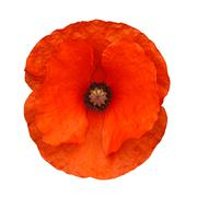 Red poppy isolated Stock Photos