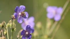 Bee collecting honey from beautiful wild flowers in summer meadow Stock Footage