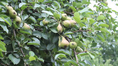 pear fruits - stock footage