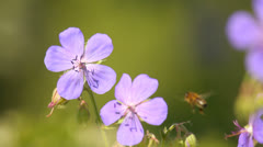 Honey bees on wild flowers in natural meadow in summer close-up, bright colors Stock Footage