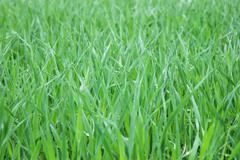 growing cereal crop - stock photo