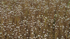 Agriculture harvest time: Flax field at July Stock Footage