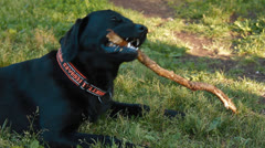 Labrador chewing on a stick - stock footage