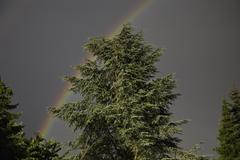A rainbow in a grey sky behind a conifer tree, Germany Stock Photos