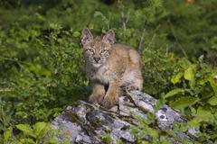 Canadian Lynx sitting on a rock Stock Photos
