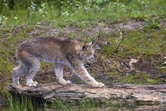 Canadian Lynx walking across a log, Montana, USA Stock Photos