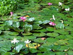 St Lucia lily garden - stock photo