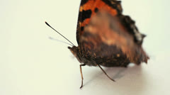 Real butterfly on white background (macro) Stock Footage