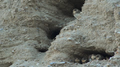The nests of swallows in a sand quarry Stock Footage