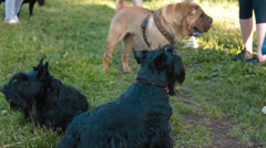 Scottish Terrier dog in the park Stock Footage