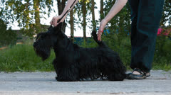 Preparation for the exhibition Scottish Terrier Stock Footage