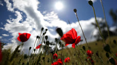 Poppies in back lit. - stock footage