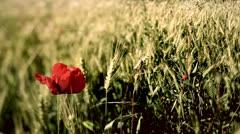 Poppy in the wheat field. Stock Footage