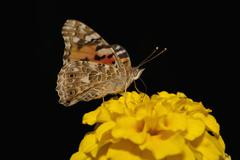 A Painted Lady butterfly (Vanessa cardui) perched on a flower Stock Photos