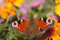 The European Peacock butterfly (Inachis io) perched on a flower Stock Photos