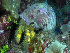 Large yellow hairy hermit crab Stock Footage