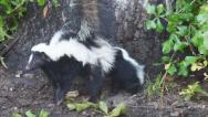 Stock Video Footage of Skunk Family