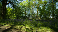 bluebells forest english countryside - stock footage