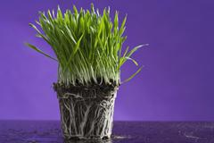 Wheatgrass with exposed roots Stock Photos