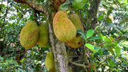 Stock Video Footage of the Jackfruit tree
