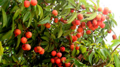 Ripe litchi fruit on the tree Stock Footage