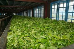 Fresh tea crop drying on tea factory Stock Photos