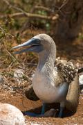 Blue-footed booby with nestling Stock Photos