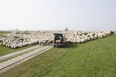 A stationery car and a flock of sheep Stock Photos