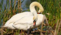 Pair of mute swans preening their feathers, natural behavior of water birds Stock Footage