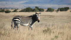 Cape Mountain Zebra Stock Footage