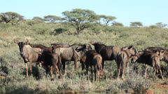 Blue wildebeest herd Stock Footage