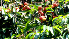 ripe litchi fruit on the tree - stock footage