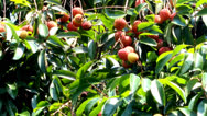 Stock Video Footage of ripe litchi fruit on the tree