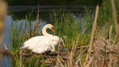Pair of white mute swans in the pond, wild birds in their natural habitat Stock Footage