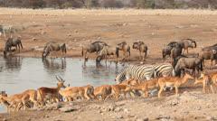 Etosha waterhole Stock Footage