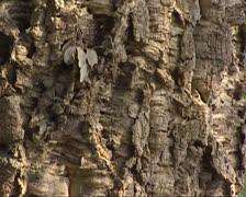 Cork oak  (Quercus suber) tilt up bark - full screen Stock Footage