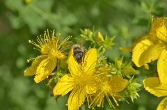 St. john's wort flowers ( hypericum perforatum)  in summer close up with  bee Stock Photos