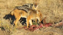 Scavenging black-backed Jackals Stock Footage