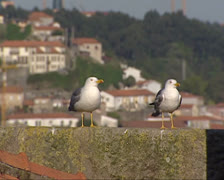 Pair of gulls on city wall - human habitat Stock Footage