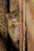 Tarsier, the smallest primate, tangkoko, sulawesi.tarsier, the smallest prima Stock Photos