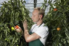 Stock Photo of A man holding a ripe tomato growing on a vine