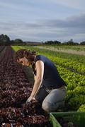 A woman harvesting lettuces in a field - stock photo