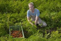 A man harvesting carrots in a field of an organic farm - stock photo