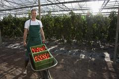 A man wheeling crates of tomatoes in a greenhouse Stock Photos
