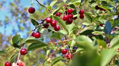 Cherry tree Stock Footage