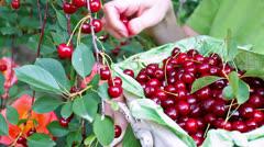 Basket full of cherries Stock Footage