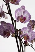 Moth Orchid hybrid, (Phalaenopsis spp.) Stock Photos