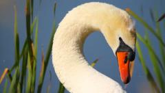 Beautiful portrait of white mute swan, close-up Stock Footage