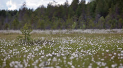 Cotton-grass blooming on the marshes of Karelia in summer season, Russia Stock Footage